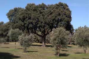 encina entre olivos